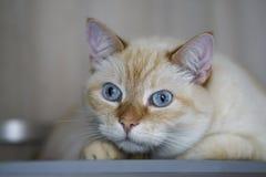Beautiful Domestic Ginger Red Pastel Short Hair Blue Gray Eyes Cat Looking Straight Towards Camera. Close Up, Horizontal, Selective Focus royalty free stock photos