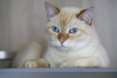 Beautiful Domestic Ginger Red Pastel Short Hair Blue Gray Eyes Cat Looking Straight Towards Camera. Close Up, Horizontal, Selecti. Ve Focus stock photography