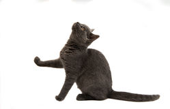 Beautiful domestic gray or blue British short hair cat with yell Royalty Free Stock Images