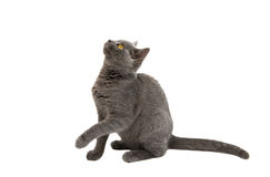 Beautiful domestic gray or blue British short hair cat with yell Royalty Free Stock Photo