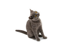 Beautiful domestic gray or blue British short hair cat with yell Royalty Free Stock Image