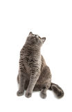 Beautiful domestic gray or blue British short hair cat with yell Stock Images
