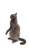 Beautiful domestic gray or blue British short hair cat with yell Stock Image