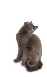 Beautiful domestic gray or blue British short hair cat with yell Stock Photo