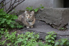 Beautiful domestic grey cat outdoor. Cockeyed cat hunting street wide shot Royalty Free Stock Images