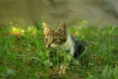 Beautiful domestic kitten is lurking in a grass. Stock Image