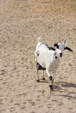 Beautiful domestic Omani goat Stock Photo
