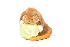 Beautiful domestic rabbit Royalty Free Stock Image