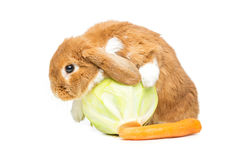 Beautiful domestic rabbit Royalty Free Stock Photography