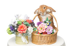 Beautiful domestic rabbit. Adorable red domestic lop-eared rabbit holding basket with flowers isolated over white background. Copy space Royalty Free Stock Photography