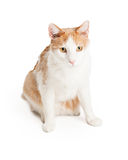Beautiful Domestic Shorthair Mixed Breed Cat Stock Images