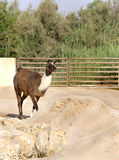 A beautiful domestic Tamatm goat Stock Image
