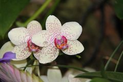 White and Purple Dotted Orchid Flowers. Beautiful dotted white and purple colors tropical orchids flowers in a garden Stock Image