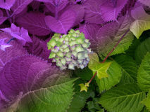 Beautiful double colour plants and flower. Beautiful double colour plant and flower of hydrangea in lilac and green Stock Image