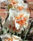 Narcissus Delnasaugh stock photo
