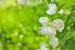 Beautiful Double Flowering Philadelphus Stock Photos
