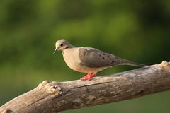 A Beautiful Dove Stock Image