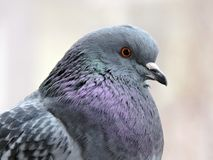 Beautiful dove bird portrait, Lithuania stock photography