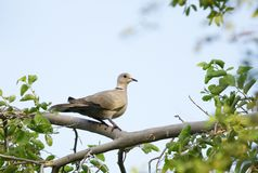 A beautiful dove perched on a tree Stock Photos