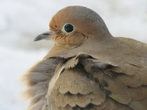 Beautiful Dove sitting apprehensively on a step. This Dove is a light colored brown and gray, very apprehensive creature of nature royalty free stock photo