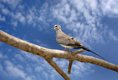 A beautiful dove sitting on branch Stock Photo
