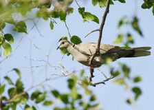 A beautiful dove sitting on a tree Royalty Free Stock Images