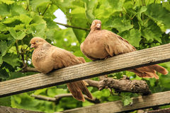 Beautiful doves. Doves sitting on a stick clear day Royalty Free Stock Photos