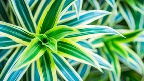 Beautiful Dracaena deremensis plant. green leaves with variegatum edge. Decorative plant Royalty Free Stock Images
