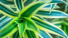 Beautiful Dracaena deremensis plant. green leaves with variegatum edge. Decorative plant Royalty Free Stock Image