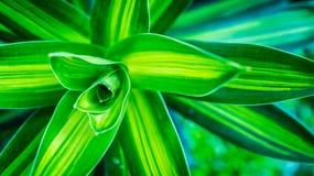 Beautiful Dracaena deremensis plant. green leaves with variegatum edge. Decorative plant Royalty Free Stock Photo