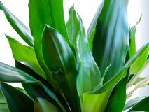 Dracena Fragrans green leaves close up royalty free stock image
