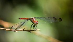 A dragon fly is resting on the stick stock photography