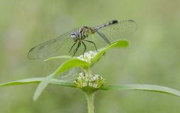 Beautiful dragon fly green. Insect with two pairs,flying with wings Stock Photography