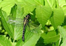 Beautiful Dragon - fly on leaf, Lithuania stock photos