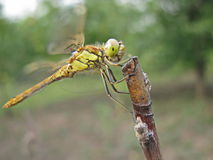 Beautiful dragon-fly sits on a branch Royalty Free Stock Photo