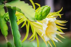 Beautiful dragon fruit flower is blooming with young green dragon fruit bud on tree. Organic raw green dragon fruit flower. Hanging on tree stock photos
