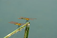 Beautiful dragonflies Royalty Free Stock Images