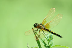 Beautiful dragonflies Stock Photo