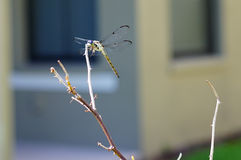 A beautiful dragonfly Royalty Free Stock Photos