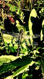 Beautiful dragonfly on the grass royalty free stock photo