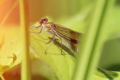 Beautiful dragonfly in grass. Portrait of an insect. Closeup macro royalty free stock photography