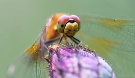 Dragonfly on a flower. royalty free stock image