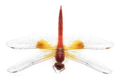 Beautiful dragonfly isolate on white background (Insect) Royalty Free Stock Image