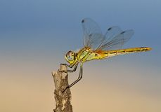 Beautiful dragonfly isolated Royalty Free Stock Photos