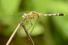 Beautiful dragonfly macro focus with soft background Stock Photo