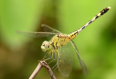 Beautiful dragonfly macro focus with soft background Stock Photos