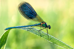 Beautiful dragonfly  on a meadow closeup Royalty Free Stock Image