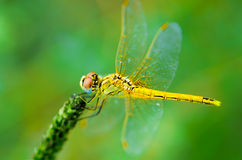 Beautiful dragonfly. In a nature Royalty Free Stock Image