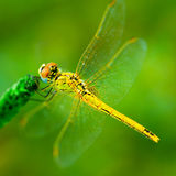 Beautiful dragonfly in a nature. A beautiful dragonfly in a nature Royalty Free Stock Photos