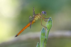 Beautiful dragonfly in the park Royalty Free Stock Photos
